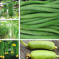 30 Organic Luffa Seeds 2018 as vegetable and sponge Loofah