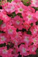 Petunia Seeds 50 Pelleted Seeds Dreams Coral Morn