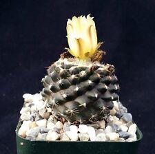 Copiapoa Tenuissima Unusual Real Cactus Live Succulent Plant