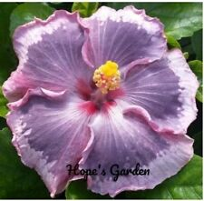 * Pink On The Mountian * Rooted Tropical Hibiscus Plant*Sh 00004000 ips In Pot*