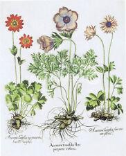Windflower Basilius Besler Vintage Botanical Art Poster 18x24