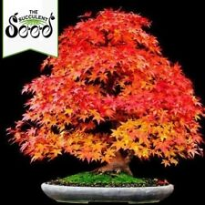 Korean Maple - Acer pseudo-sieboldianum (20 Bonsai Seeds)