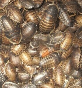 "Dubia Roaches - Live Feeder, Organic!  100 Medium 3/8"" - 3/4""  Ships FREE!!"