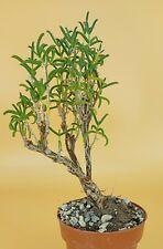Mestoklema arboriforme, vaso 8.5CM (ariocarpus,copiapoa,cactus,仙人掌 )