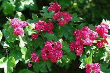 Midland Hawthorn 'Paul's Scarlet' /  Crataegus Laevigata Rosea 4-5ft In 5L Pot