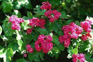 Midland Hawthorn 'Paul's Scarlet' /  Crataegus Laevigata Rosea 4-5ft In 6L Pot
