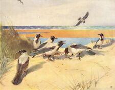 """HOODIE CROWS. """"The Marauders"""" by WINIFRED AUSTEN 1935 old vintage print"""