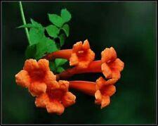 Beautiful Orange Hummingbird Trumpet Vine! 20 seeds! HUMMINGBIRDS LOVE IT!
