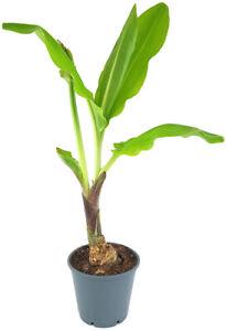 Scadoxus 'katharinae' - Blutblume - SALE ohne Blüte - exotische Zimmerpflanze