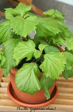 Perilla Japanese Shiso herb 25+ seeds    OP/Heirloom