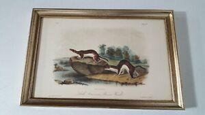 J J Audubon Print Little American Brown Weasel  Plate LXIV No 13 Framed 1561