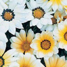 GAZANIA KISS VANILLA drought  &frost tolerant plants - 6-cell seedling punnet