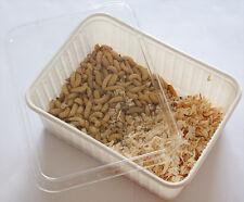 250 Bienenmaden in der perforierten Vorratsbox Wachsmaden lebende Angelköder