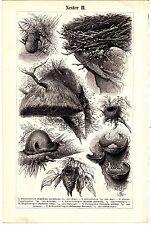 1894 BIRD NEST, NESTER,Original Antique Wood Engraving Print