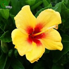 50 Pc Hibiscus seeds Balcony Bonsai Flower Seeds Flowering Plants Yellow Red