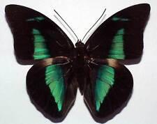 PREPONA AMPHIMACHUS SYMAITHUS - unmounted butterfly