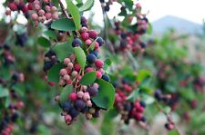 SASKATOON BERRY SEEDS(15/pkg.) service berry,  for fresh eating or jams