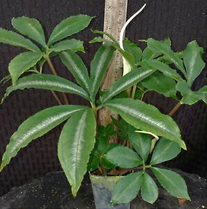 Amorphophallus myosuroides - Mouse Tail Amorphophallus - Live Plant