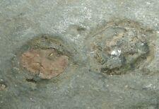 MUSEUM GRADE Ediacarian fossils plate - Aspidella sp. BIG! Uncommon locality!