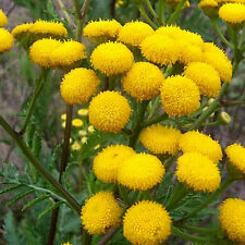 H079 Tansy x100 seeds