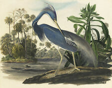 Audubon James John Tricolored Heron Canvas 16 x 20   #5685