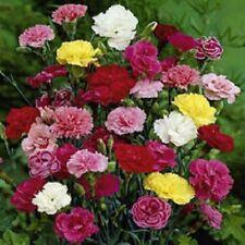 50 Carnation Seeds Grenadin Mix Seeds