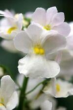 50 White Knight Nemesia Strumosa Flower Seeds + Gift