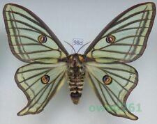 Graellsia isabellae (Graëlls, 1849) female ex. pupa Switzerland 88mm98d