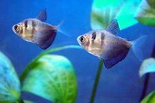 x20 BLACK SKIRT TETRA - LIVE FRESH WATER FISH - FREE SHIPPING