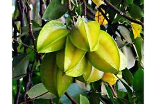 Averrhoa carambola Star Fruit Tree Seeds Small Good in Container Purple Flower