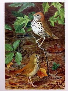 Antique 1901 LOUIS AGASSIZ FUERTES Beautiful Bird Print WOOD & HERMIT THRUSH
