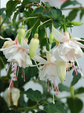 Fuchsin Flower Plant Seeds White Color Fuchsia Flower Potted Plant Seed 10 Pcs