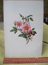 Vintage Print,WILD ROSE,Native Flowers+Ferns US,Prang,1879
