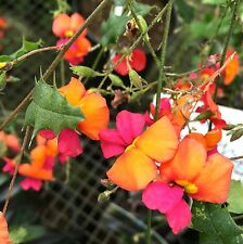 Holly Leaf Flame Pea Seed Drought/Frost Tolerant Pretty Tricolor Pea Flowers