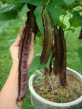 RARE 10 SEED GIANT WINGED BEAN GOA BEAN PRINCESS BEAN HEIRLOOM ORGANIC