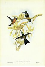"""1990 Vintage HUMMINGBIRD #55 /""""PUCE THROATED HUMMING BIRD GOULD COLOR Lithograph"""