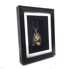 Large Skeleton Hanging Fruit Bat in Frame - Taxidermy, REAL, Curiosity, Oddities