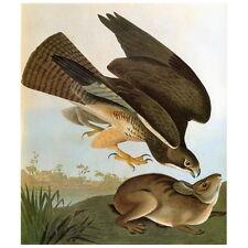 John J Audubon Common Buzzard Deco Magnet, Birds of America Swainson's Hawk