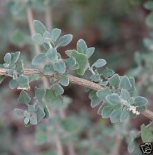 River, Swamp Saltbush Seed Fodder Silver Foliage Shrub Evergreen