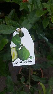 Kaffernlimette Citrus hystrix ca. 60 - 80 cm  Limette verdelt