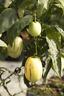 Pepino Birnenmelone 5 Samen, Solanum muricatum