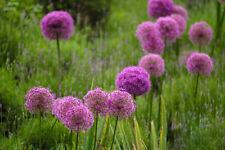 Riesenlauch / Zierlauch – (ca. 50 Samen) winterhart (Allium giganteum)