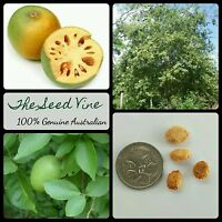 10+ INDIAN BAEL TREE SEEDS (Aegle marmelos) Edible Fruit Sacred