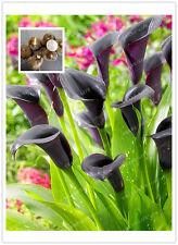 Black Magic Color Calla Lily Bulbs 2PC