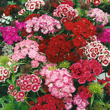 Sweet William - Messenger Mixed - 1000 Seeds