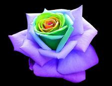 10 SEMI ROSA RAINBOW ROSE - SEEDS