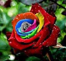 FD4537 Mystic Rainbow Rose Bush Flower Seeds Stratisfied Seeds Rare Seed 50PCs