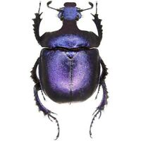 Enoplotrupes sharpi female purple scarab beetle Thailand unmounted packaged