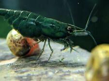 5+1 Green Jade High Grade Shrimps Home Bred