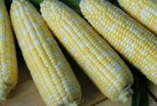 Sweet BI-Coloured Corn American Dream 20 Seeds -  AAS Award Winning Corn ✔✔